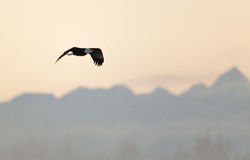 Flying eagle over sunset snow-covered mountains. Royalty Free Stock Photo