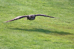 Flying Eagle Owl Stock Images