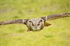 Flying eagle owl. Picture of a flying eagle owl royalty free stock photography