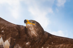 Flying eagle Royalty Free Stock Images