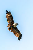 Flying Eagle. The Red-backed Sea-eagle Stock Photography