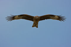 Flying Eagle(w clipping path) Stock Photos