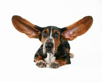 Flying ears. A basset hound with flapping ears royalty free stock photography