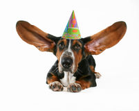 Flying ears. A basset hound with flapping ears Stock Image