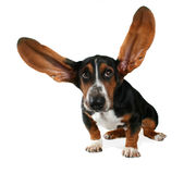 Flying ears. A basset hound with long flying ears royalty free stock photography
