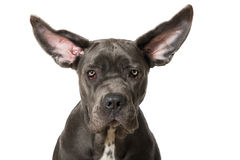 Flying ears Royalty Free Stock Images
