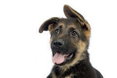 Flying ears puppy german shepherd portrait  in  white photo stu Royalty Free Stock Photo