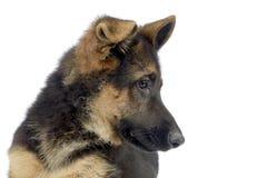 Flying ears puppy german shepherd portrait  in  white photo stu Royalty Free Stock Photography