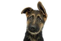 Flying ears puppy german shepherd portrait  in  white photo stu Stock Images