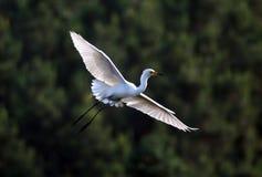 Flying egret royalty free stock photo