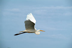 Flying egret. Great egret flying with wings spread royalty free stock photo