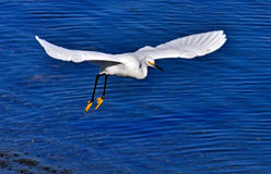 Flying Egret. Egret, any member of several species of herons family Ardeidae, order Ciconiiformes, especially members of he genus Egretta. Most egrets have white stock image
