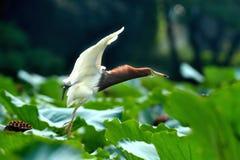 Flying egret bird landing Stock Photography