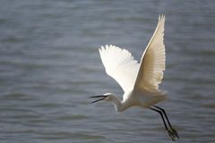 Flying egret cry Royalty Free Stock Photography