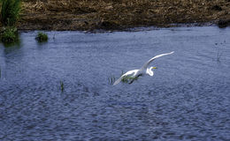 A Flying Egret. An Egret flies over the waters of the Salt Marshes in NJ Stock Image