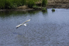 A Flying Egret. An Egret flies over the waters of the Salt Marshes in NJ Stock Photography