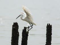 Flying egret Stock Images