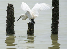 Flying egret Stock Image