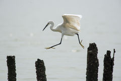Flying egret Stock Photography