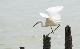 Flying egret Royalty Free Stock Images