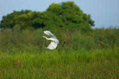 Flying egret. In Nakhonsawan province of Thailand Royalty Free Stock Images