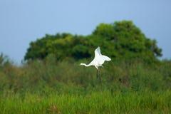 Flying egret. In Nakhonsawan province of Thailand Stock Image