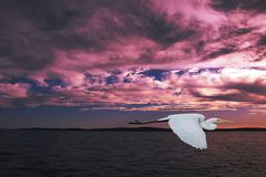 Flying Egret in Pink Cloudy Sea Sunset Stock Photography