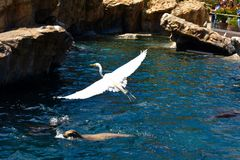 Flying Egret steals the show stock images