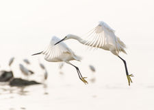 Flying egrets. Two snowy great egrets are flying together Stock Photo