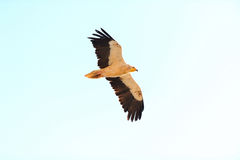 Flying Egyptian Vulture (Neophron percnopterus) in Socotra islan Royalty Free Stock Images