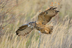 Flying Eurasian Eagle-Owl royalty free stock photography
