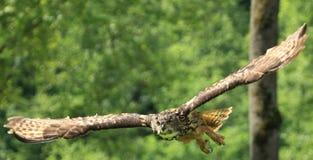 Flying eurasian eagle-owl Royalty Free Stock Photos