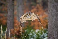 Flying Eurasian Eagle Owl in colorfull winter Stock Photos