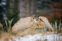 Flying Eurasian Eagle Owl in colorfull winter forest Royalty Free Stock Image