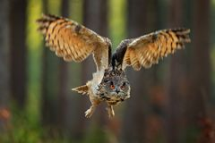 Flying Eurasian Eagle Owl with open wings, action wildlife scene from nature, Germany. Dark forest with bird. Owl in forest habita. T, tree stump. Bird in the stock photos
