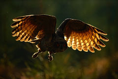 Flying Eurasian Eagle Owl with open wings in forest habitat, photo with back light, bird action scene in the forest, dark morning Stock Photos