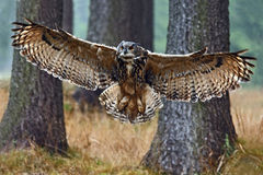 Flying Eurasian Eagle Owl with open wings in forest habitat with trees, wide angle lens photo. Sweden Royalty Free Stock Image