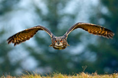 Flying Eurasian Eagle owl with open wings with snow flake in snowy forest during cold winter. Action wildlife scene from nature. B. Flying Eurasian Eagle owl