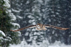 Flying Eurasian Eagle owl with open wings with snow flake in snowy forest during cold winter Stock Image