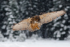 Flying Eurasian Eagle owl with open wings with snow flake in snowy forest during cold winter Stock Photos