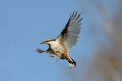 Flying Eurasian Nuthatch against bright blue sky background Stock Photo