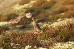 Flying Eurasian Tawny Owl, Strix aluco, with forest in the background. Flying Eurasian Tawny Owl, Strix aluco. Action wildlife scene from the European Owl in royalty free stock photos