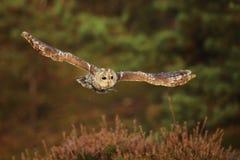 Flying Eurasian Tawny Owl, Strix aluco. Action wildlife scene from the European Owl in fly. Flying Eurasian Tawny Owl, Strix aluco, with forest in the background royalty free stock image