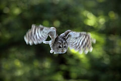 Flying Eurasian Tawny Owl, Strix aluco, with nice green blurred forest in the background Stock Image