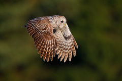 Flying Eurasian Tawny Owl, Strix aluco, with nice green blurred forest in the background Royalty Free Stock Photography