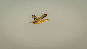 The Flying Duck, Eurasian Teal Royalty Free Stock Image