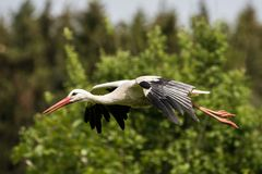 Flying European white stork, Ciconia ciconia in a german nature park royalty free stock image