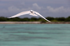 Flying Fairy Tern Bird. Royalty Free Stock Image