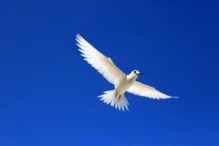 Flying Fairy Tern Bird Stock Image