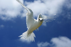 Flying Fairy Tern Bird Stock Photo